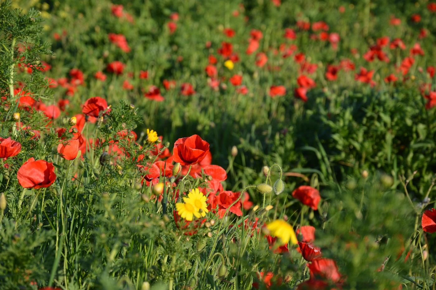 mohnblumen auf sardinien